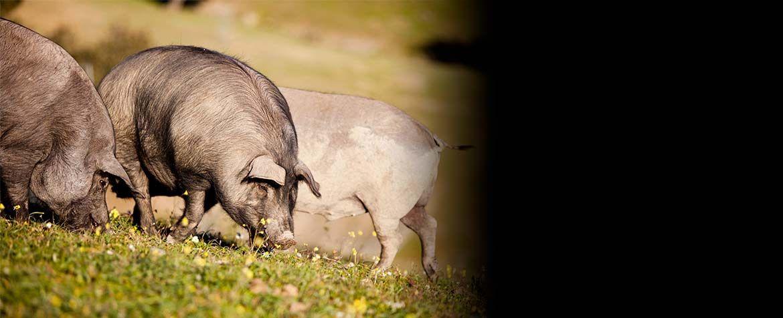 cerdos-libres